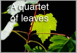 a quartet of leaves